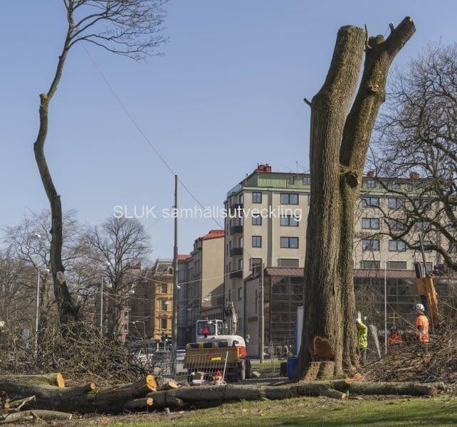 Vid Hagakyrkan sågar man ner ett träd den 26 mars.